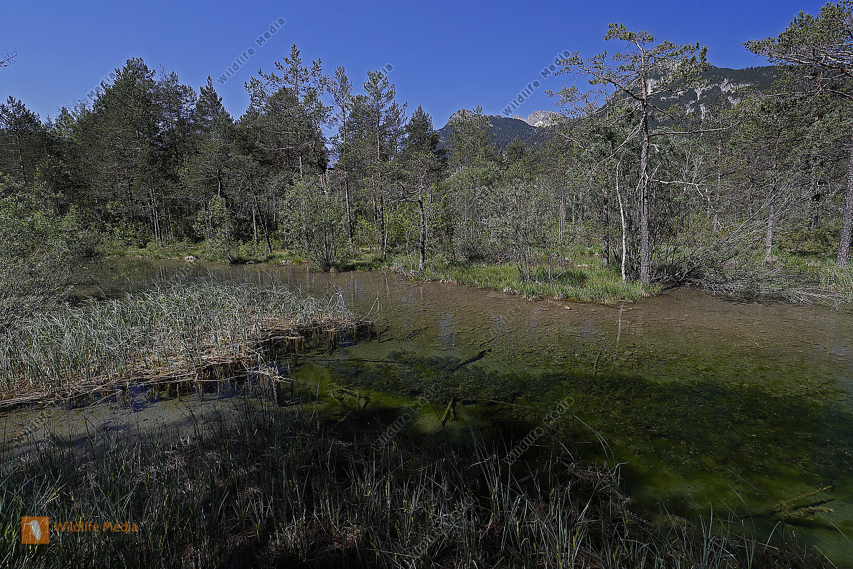 Bileks-Azurjungfer Habitat