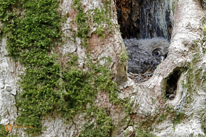 Habichtskauz Junge in Naturhöhle