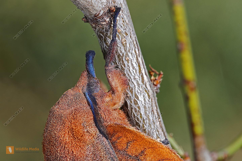 Kupferglucke Weibchen
