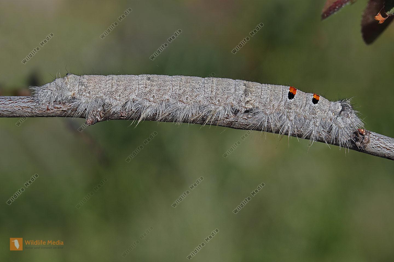 Kleine Eichenglucke Raupe