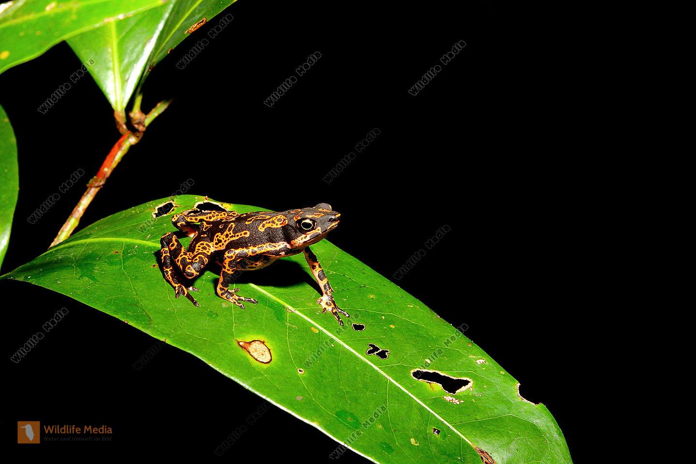 Stummelfußkröte - Atelopus hoogmoedi