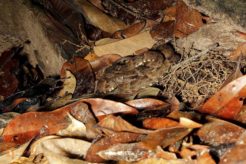 Lanzenotter im Regenwald von Zentral Guyana