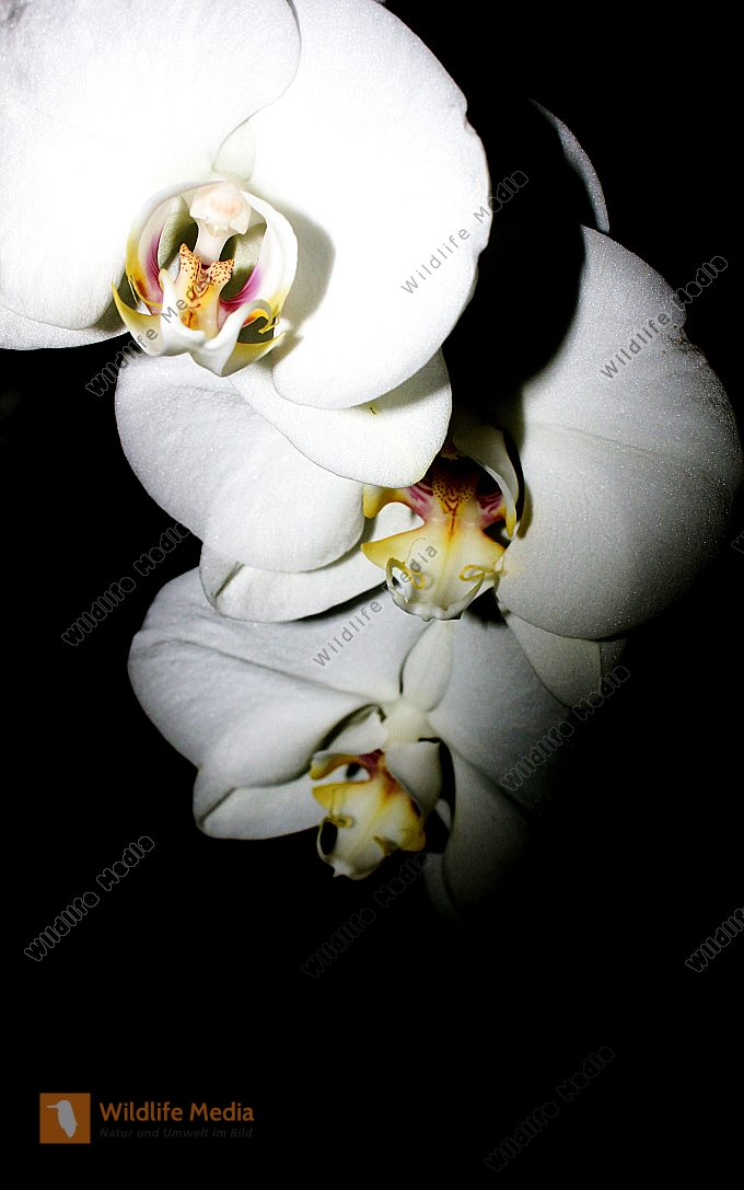 Orchideen der Nacht