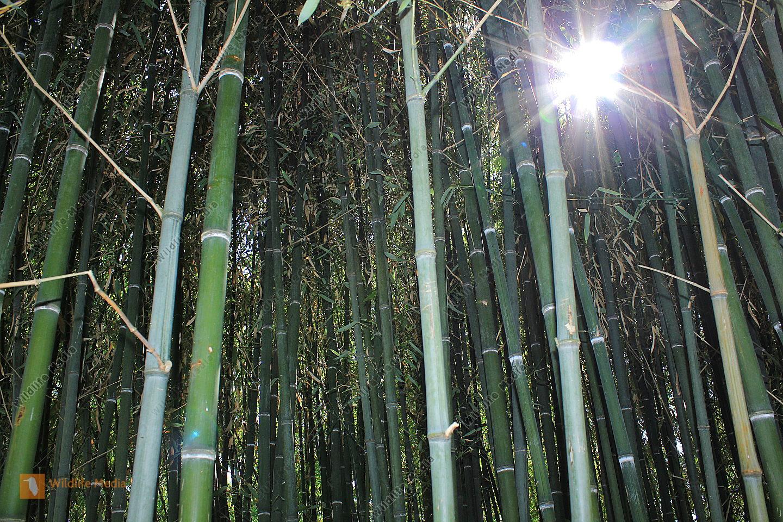 Bambuswald im Sonnenlicht