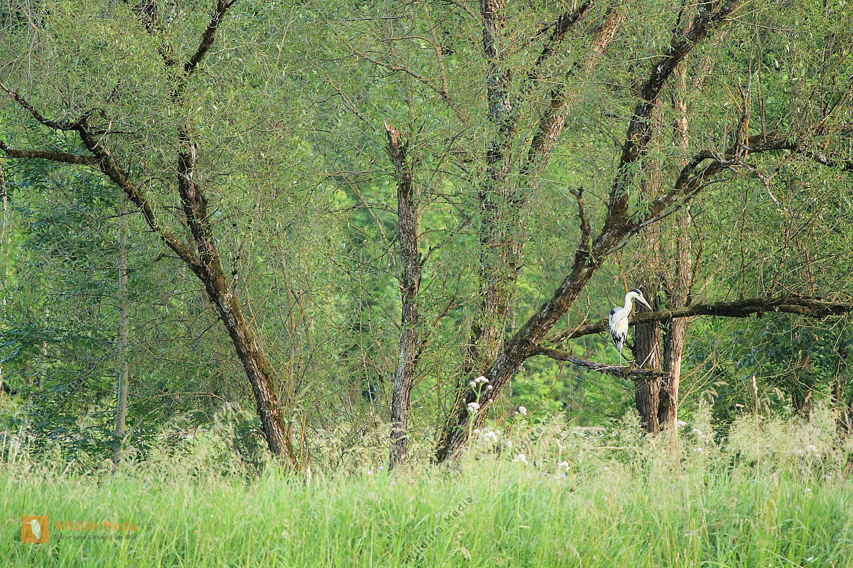 Graureiher (Ardea cinerea) in Aue
