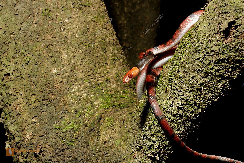 Rotaugen-Baumschlange