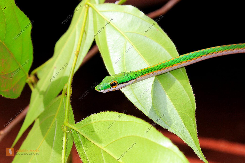 Dünnschlange