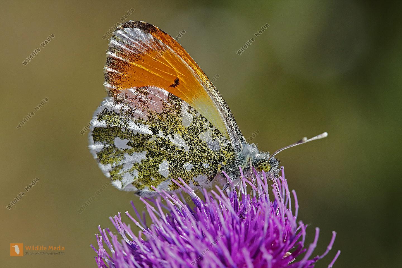 Aurorafalter Männchen