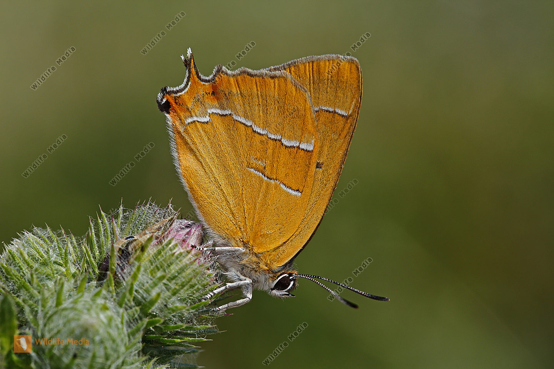 Nierenfleck-Zipfelfalter Männchen