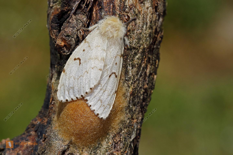 Schwammspinner Weibchen mit Eigelege