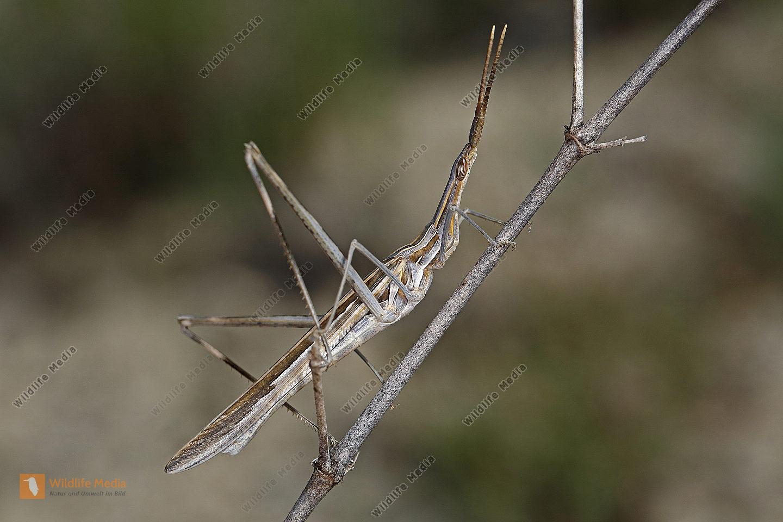 Heuschrecke Truxalis nasuta