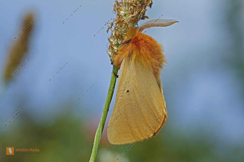 Gelber Wiesenspinner Männchen