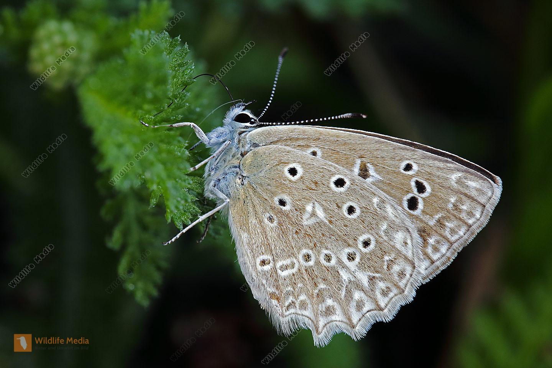 Zahnflügel-Bläuling Weibchen