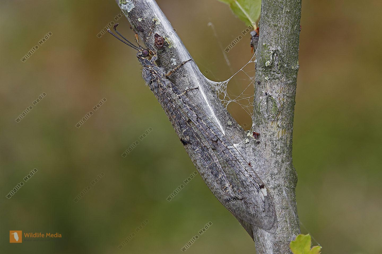 Gefleckte Ameisenjungfer