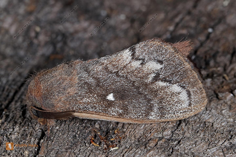 Kiefernspinner Männchen