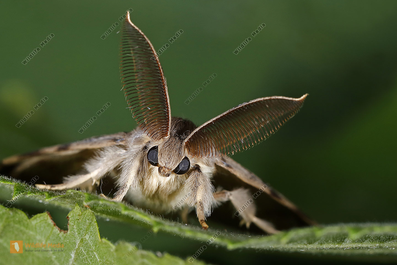 Schwammspinner Männchen