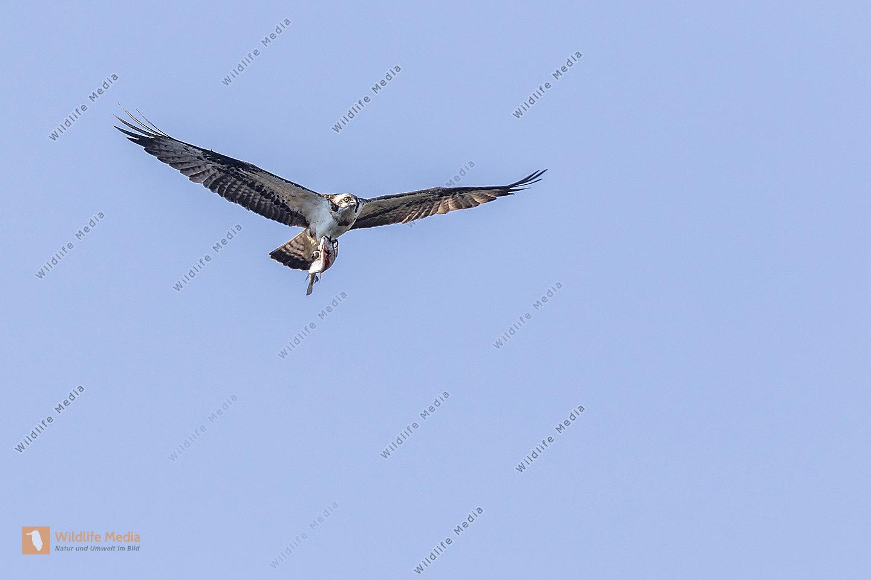 Fischadler (Pandion haliaetus)