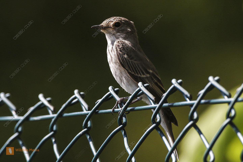 Ein ruhender Grauschnäpper auf einem Zaun