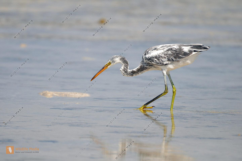 Küstenreiher Egretta gularis