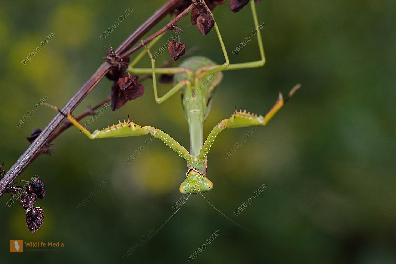 Mittelmeer Mantis Weibchen