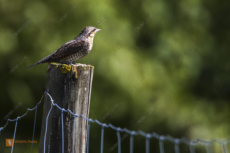 Ein Wendehals sitzt auf einem Zaunpfosten