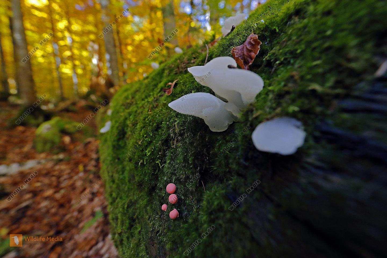 Eispilz mit Blutmilchpilz im Urwald