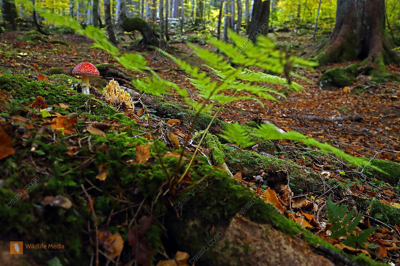 Fliegenpilz im Urwald