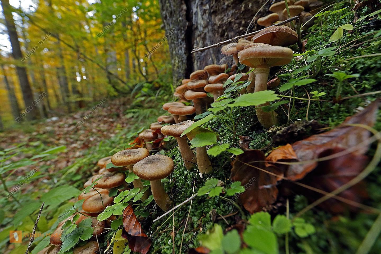 Hallimasch im Urwald
