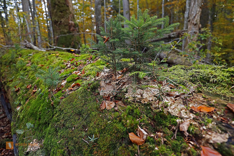 Totholzverjüngung im Urwald