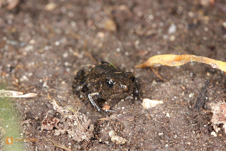 Erdkröte - Metamorphling