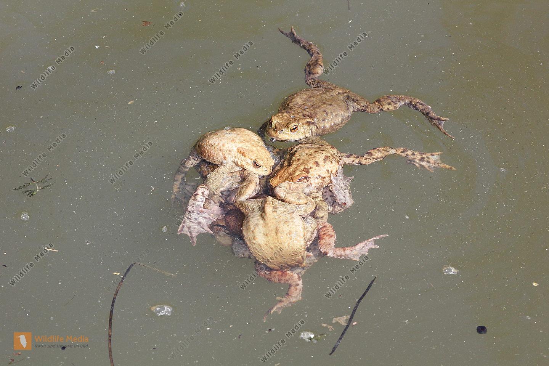 Erdkröte - Paarungskneuel