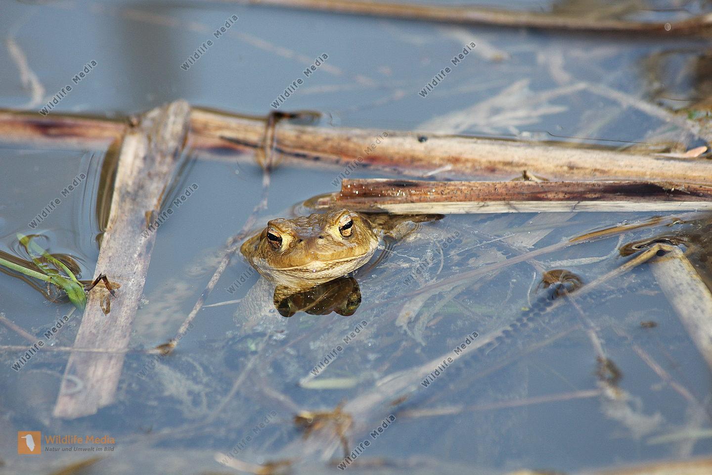 Erdkröte mit Laichschnürren