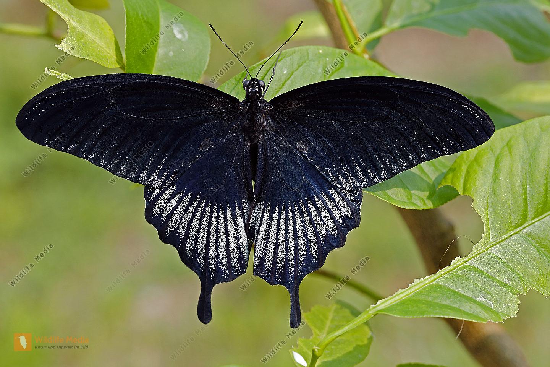Asiatischer Schwalbenschwanz Männchen