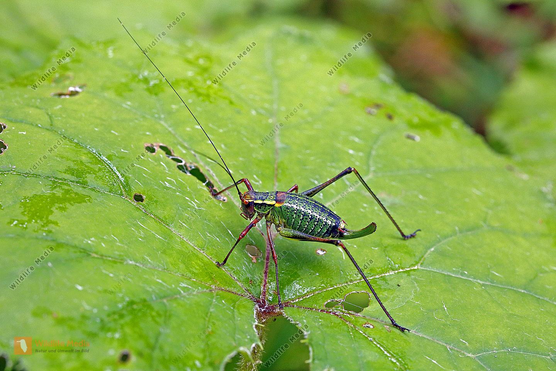 Nadelholz-Säbelschrecke Weibchen