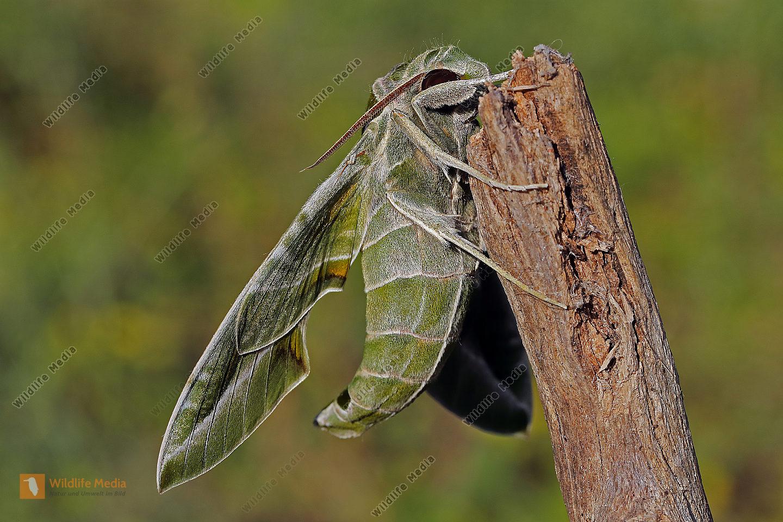 Oleanderschwärmer Männchen