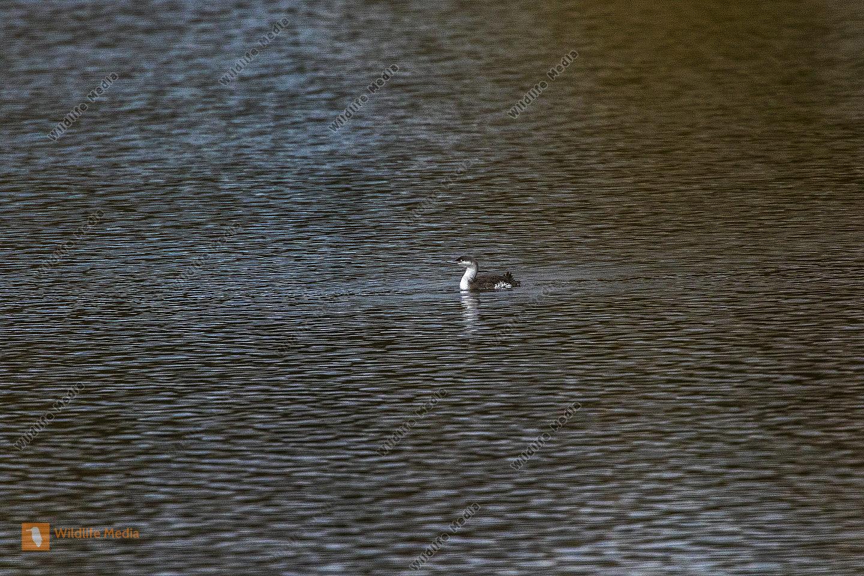 Ein Sterntaucher auf dem Bostalsee im Saarland