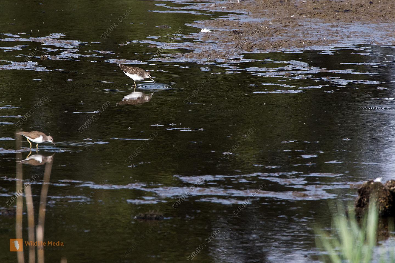 Ein Waldwasserläufer im Naturschutzgebiet Spießbrücke bei Worms
