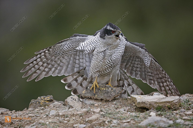 Habicht Männchen