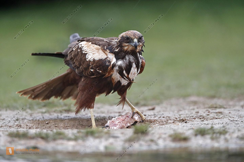 Rohrweihe Weibchen
