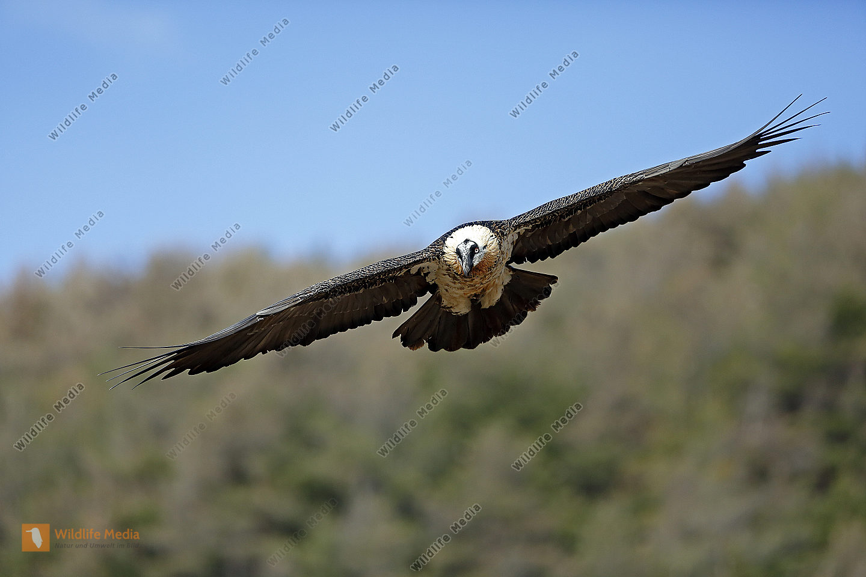 Bartgeier Altvogel