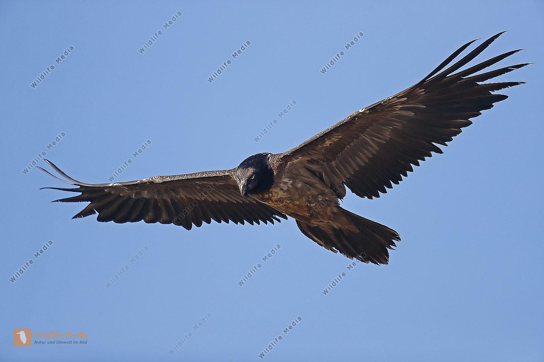 Bartgeier Jungvogel