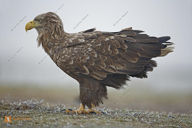 Seeadler Altvogel