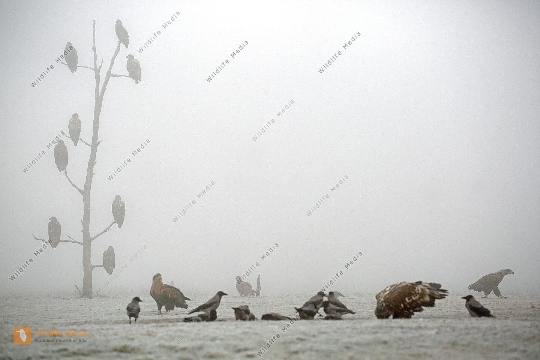 Seeadler Gruppe im Nebel
