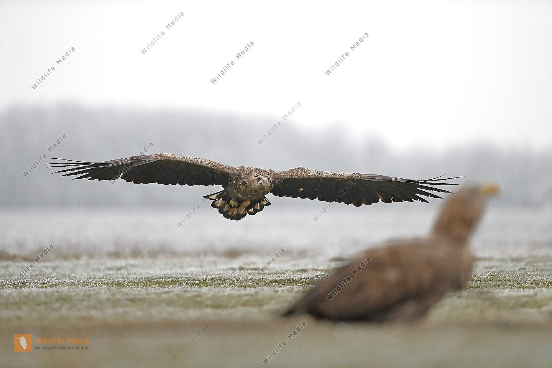 Seeadler subadult