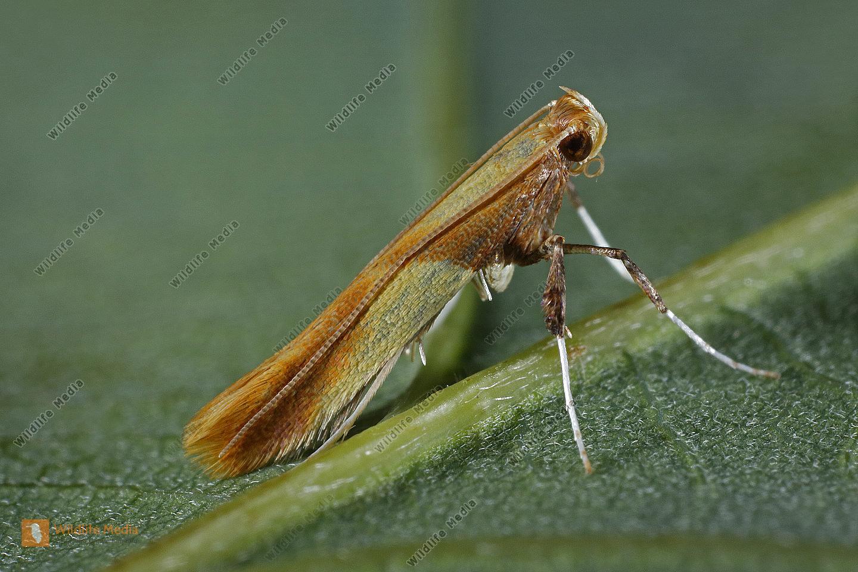 Kleinschmetterling Caloptilia robustella