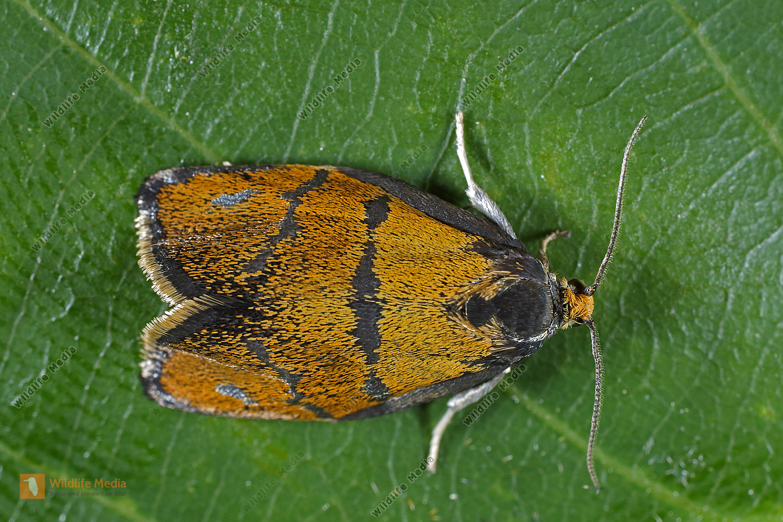 Wickler Ptycholoma lecheana
