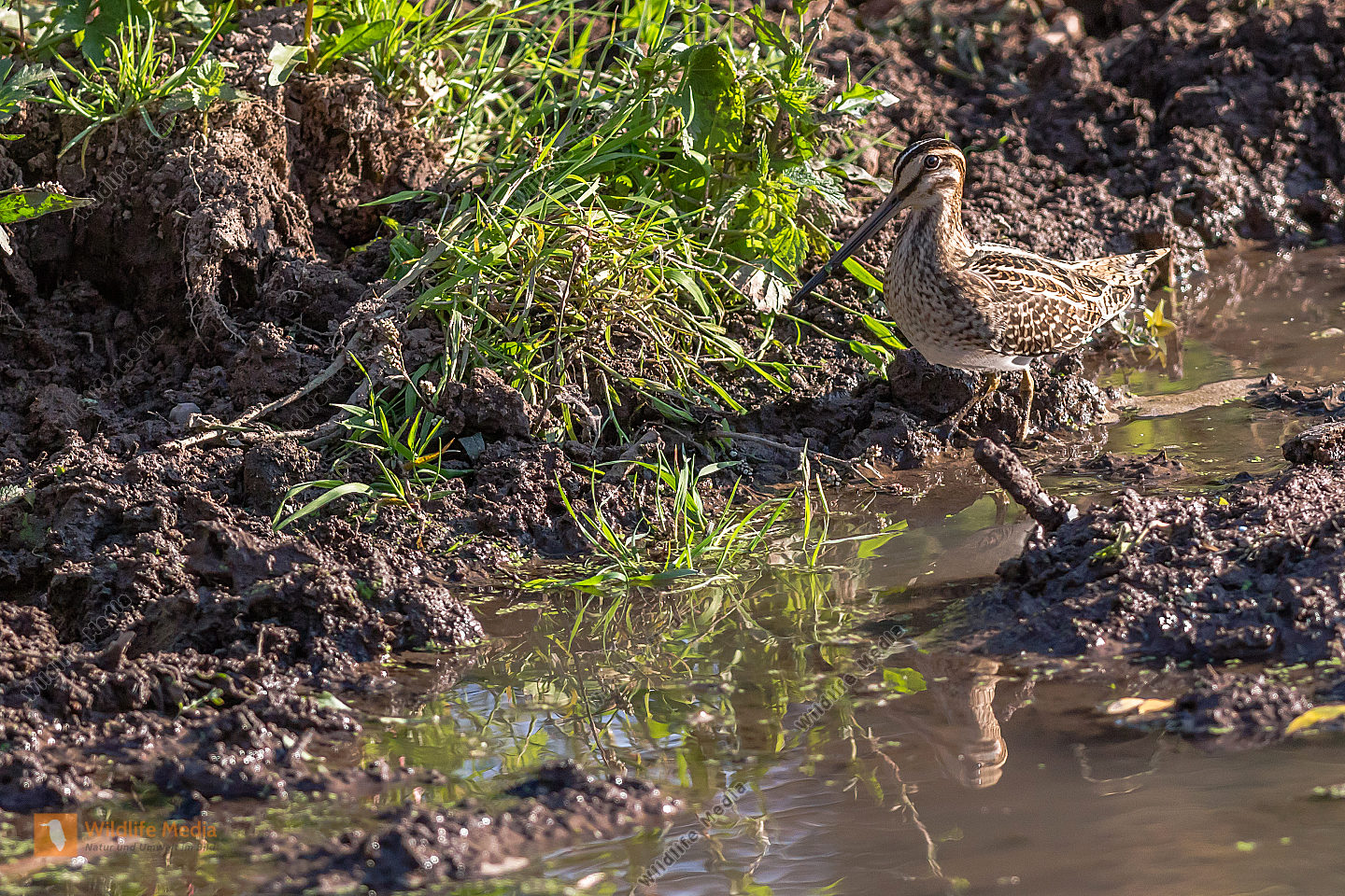 A common snipe in Beeder Bruch is searching for fodder