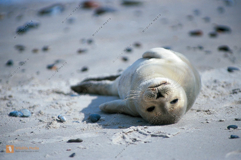 Junger Seehunde Phoca vitulina am Nordseestrand