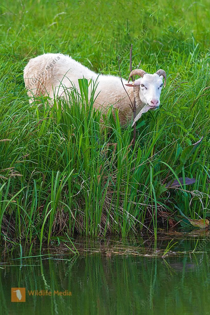 Moorschnucke Ovis aries am Bachufer