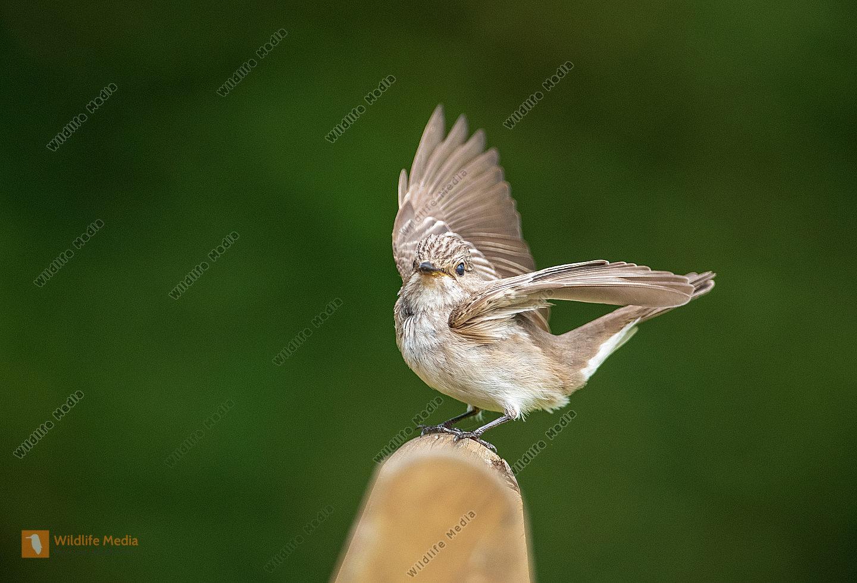 Grauschnäpper Muscicapa striata bei der Landung